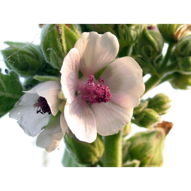 ALTEA - Althaea officinalis