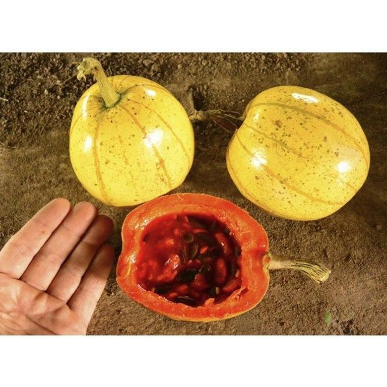 CHINESE PASSION FRUIT MELON - Cionosicyos macranthus