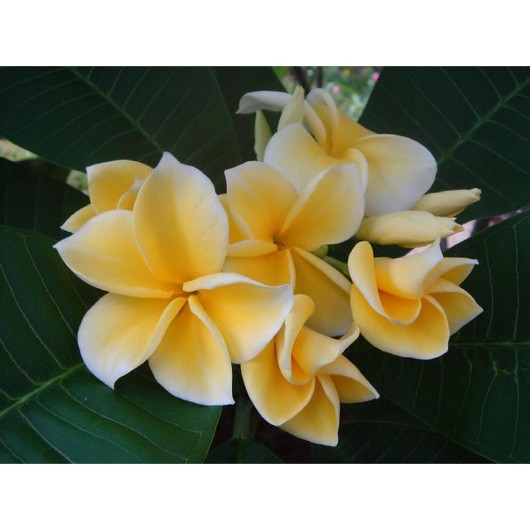 PLUMERIA RUBRA LEMON DROP